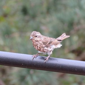 Young Purple Finch