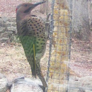 yellow-shafted-flicker-1-21-2016_24163473579_o.jpg